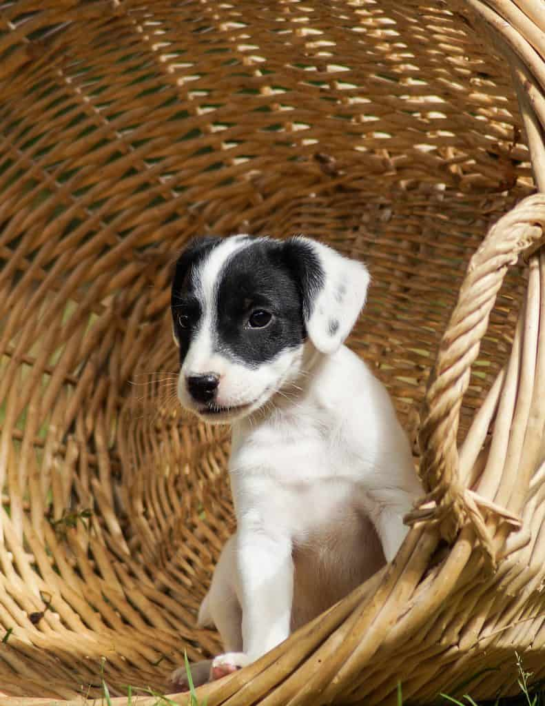 how-long-can-jack-russells-be-left-alone