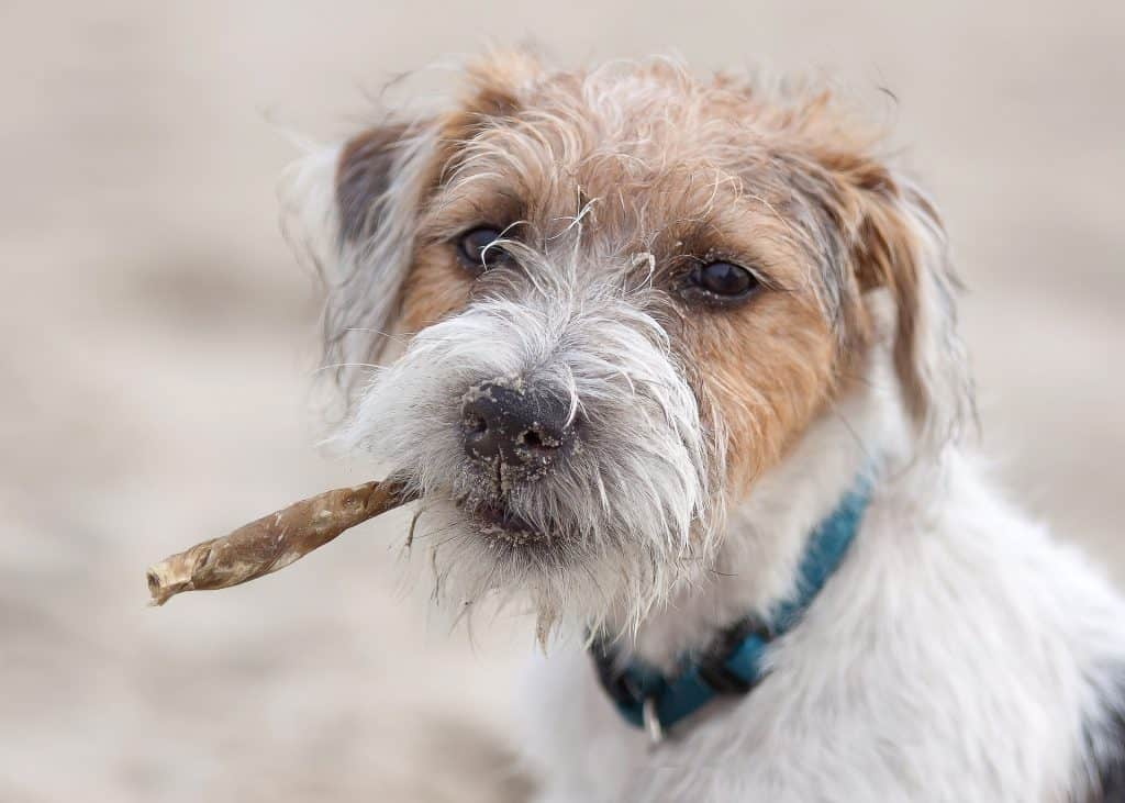 do-jack-russells-chew-a-lot