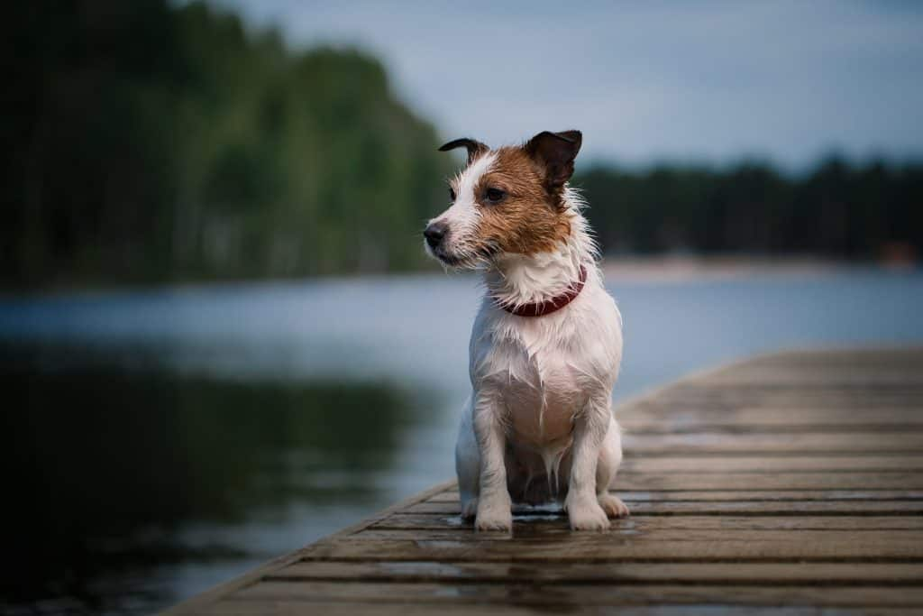 do-jack-russells-smell