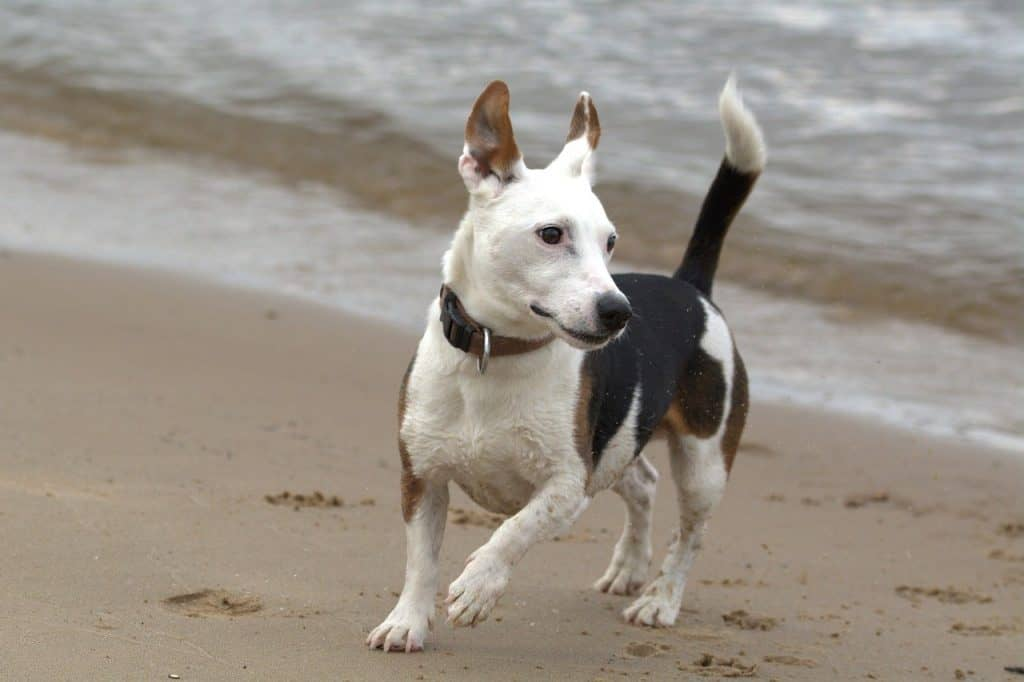 how-much-excercise-does-a-jack-russell-need