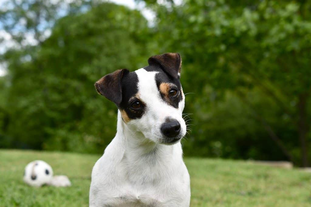 personality-traits-jack-russell-terrier