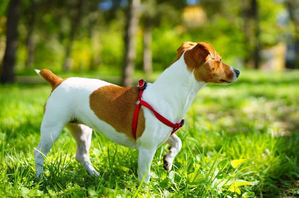 walking-and-excercise-with-jack-russell