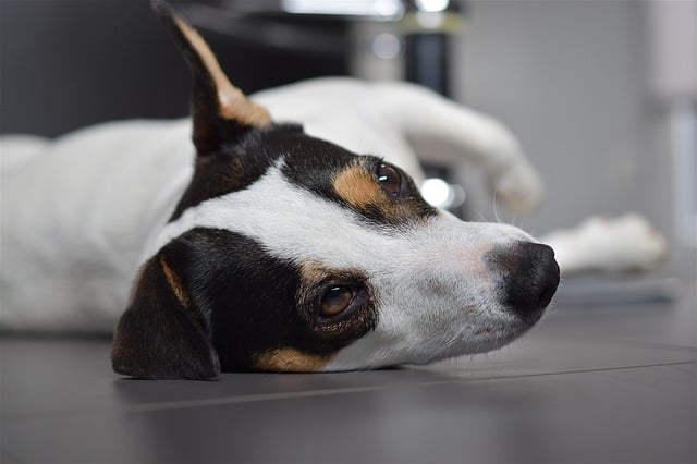 how-to-discipline-jack-russell