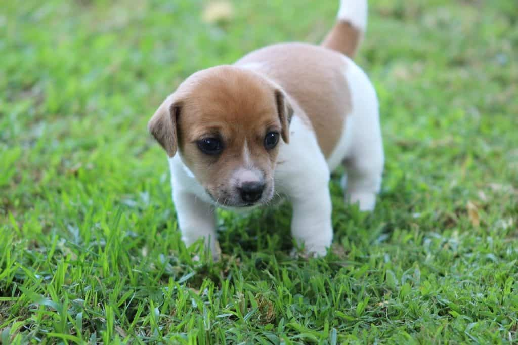 jack-russell-care