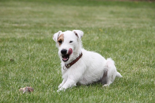 how-much-does-a-jack-russell-terrier-cost