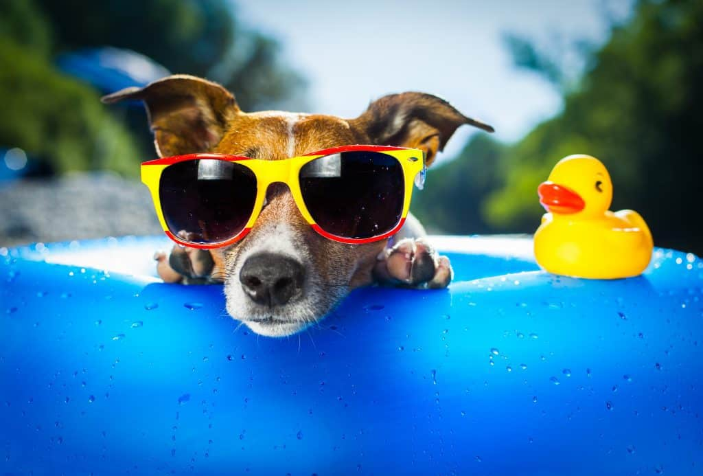 leaving-a-jack-russell-home-alone-how-long-jack-russell-near-pool