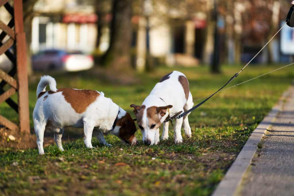 are-jack-russell-terriers-grumpy-2-jack-russells-playing