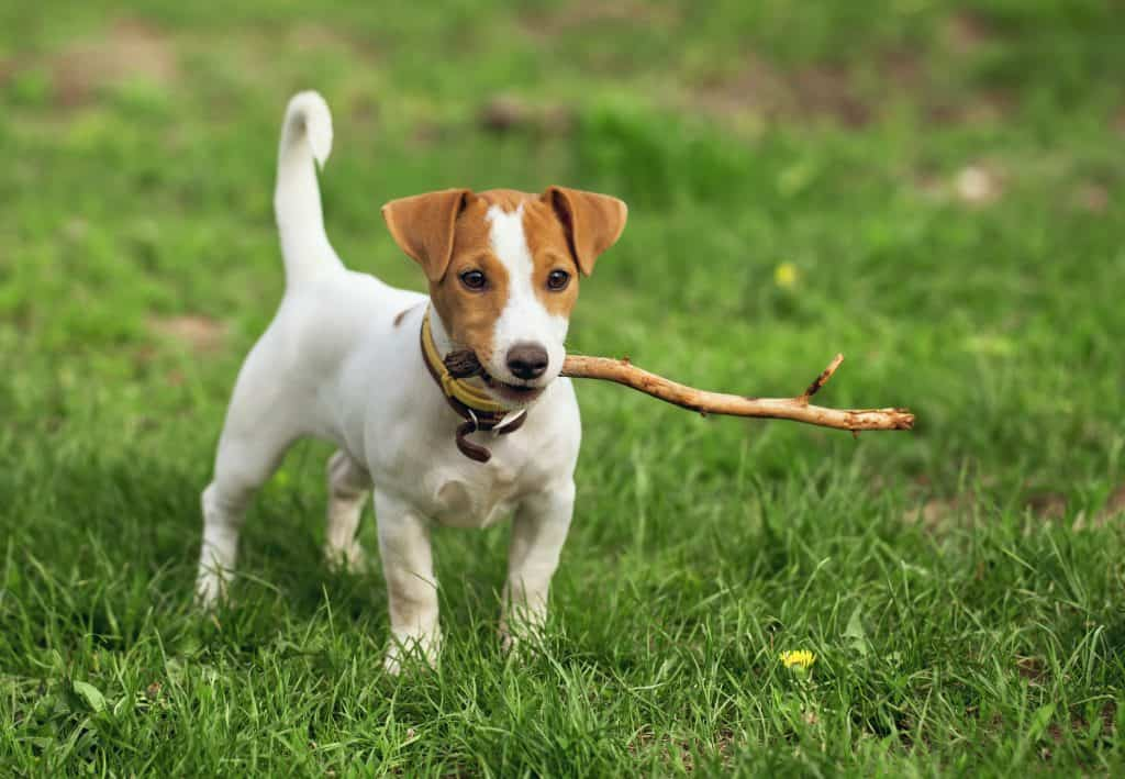 keeping-a-jack-russell-terrier-busy-jack-russell-holding-stick