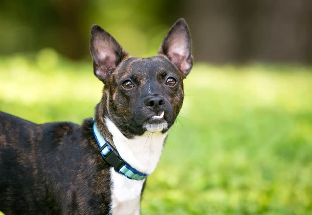 jack-russell-terrier-boston-terrier-mix-breed-white-black
